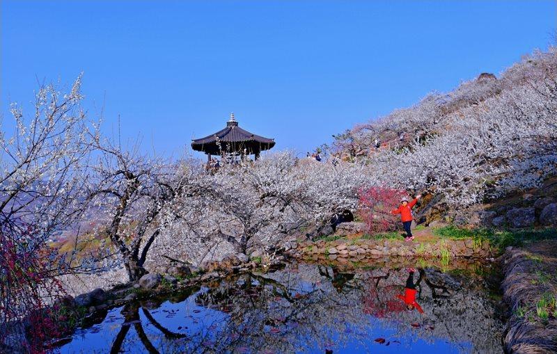 Lễ hội hoa mơ ở Gwangyang, Hàn Quốc