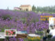 hanquocngaynay.info - Lavender festival